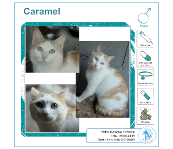 Caramel, chat à adopter en Creuse (23)