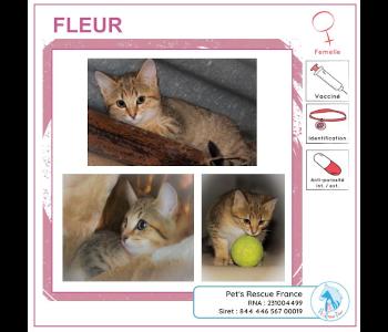 Fleur, chatte à adopter en Creuse (23)